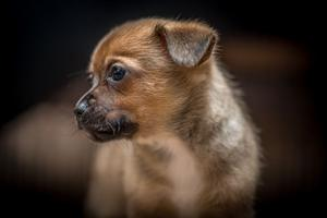 Chihuahua (male) puppy