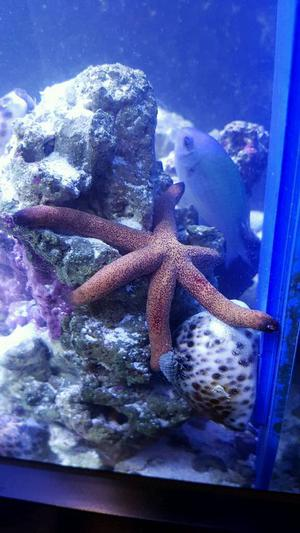 Marine fish bamboo shark reef safe posot class for Reef fish for sale
