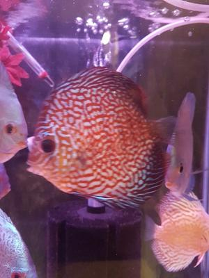 Small discus for sale posot class for Discus fish for sale near me