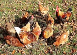 Laying hens for sale, all young birds.