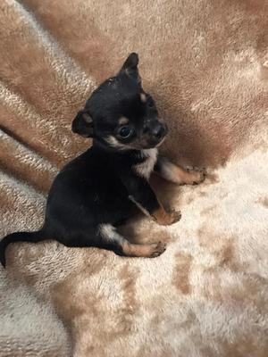 Very Rare T cup Merle Chihuahua Puppies