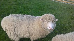 Dorset Down Ram