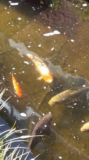 Koi carp grass carp for sale essex posot class for Garden pond fish for sale