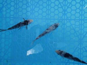 Koi einschubbecken liter becken neu posot class for Black koi carp