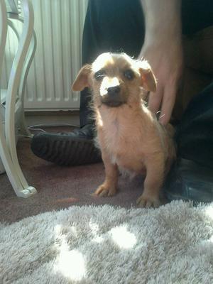Norfolk russle puppy