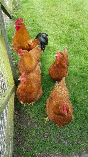 New Hampshire Red Cockerel & 4 x New Hampshire Red Hens