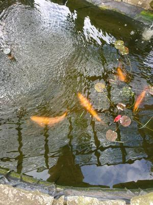 Koi carp pond heater electro 8kw series 900 posot class for Baby carp for sale