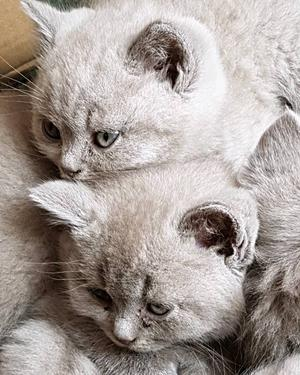 British shorthair lilac colourpoint male in | Posot Class