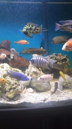 Tropical fish jalo reef cichlid for sale posot class for Reef fish for sale