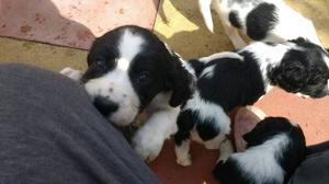 Springer spaniel pup