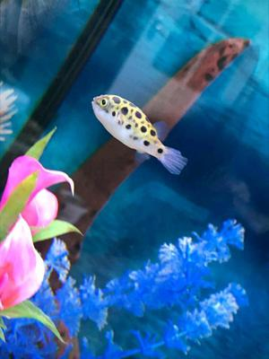 Baby tropical fish for sale in worksop posot class for Puffer fish for sale