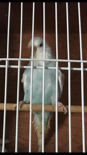 Beautiful Mint and White Budgie Hen