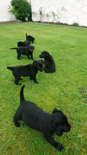 Labrador cross border collie puppies for sale