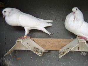 2 pure white Norwich cropper pigeons