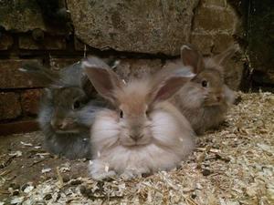 Angora Rabbits Buckinghamshire