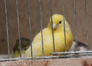 fife canaries all birds fit and healthy and ready to go all colours,