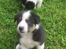 Collie pup