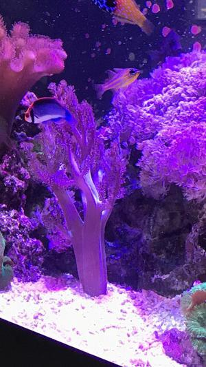 Kenya tree coral