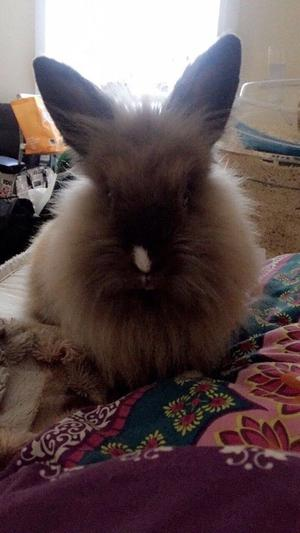 Lovely Lionhead girl looking for a forever home