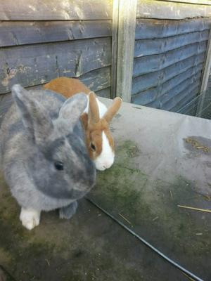 Bonded pair of rabbits looking for a forever home