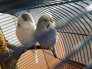 Male Budgies & Cage