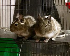 2 Degus and a Large Cage