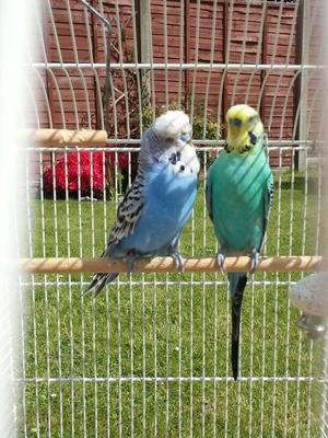Budgies for sale £15 each or 2 for £25.