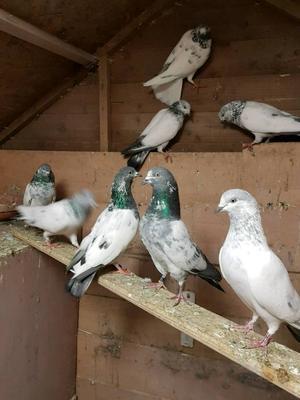 Pigeones