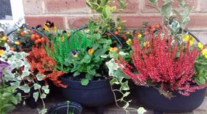 Autumn & Winter Flowers & Plants & Christmas Planted Pots, Hanging Baskets