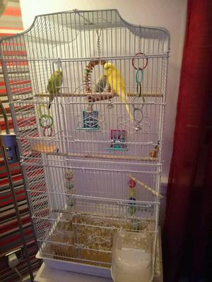 Budgies and cage toys food ect £60 ono young budgies semi tame