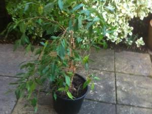 Ornamental Green Ficus House Plant