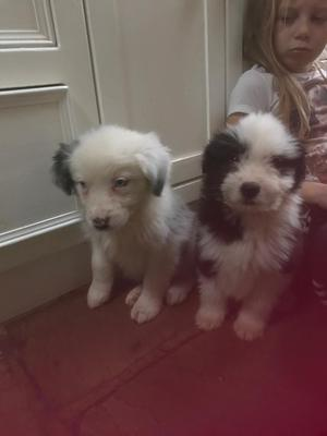 Stunning puppies blue Merle cross old English sheepdog