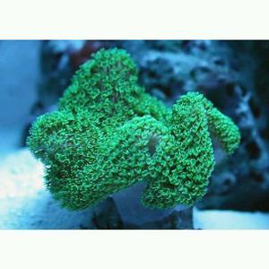 Australian green toadstool frags