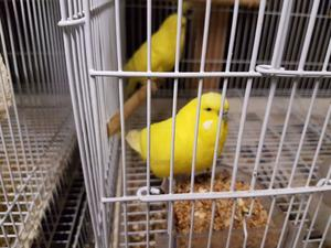 We have 8 baby Yellow (Lutino) young Budgies for sale