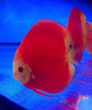 DISCUS FISH.