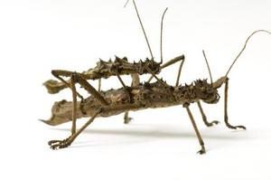 sabah thorny stick insects(aaeretaon asperrimus)