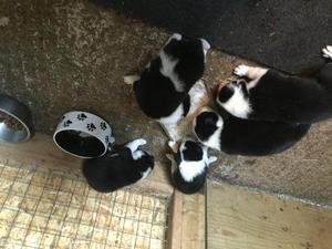 Border collie pups