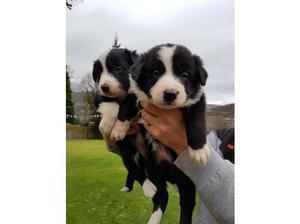Border collie pups for sale. in Pontypridd