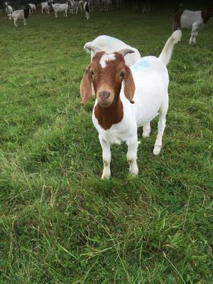Castrated male boer goats