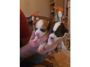Chihuahua boy puppies in Corby
