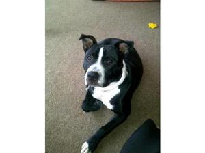 FOSTER/FOREVER HOMES URGENTLY REQUIRED FOR RESCUE STAFFIE