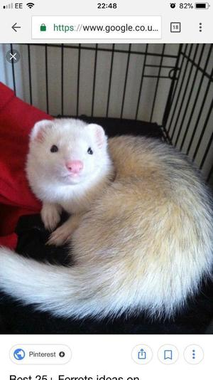 Ferret free to a good home
