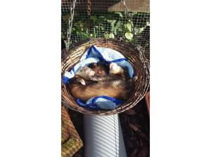 Ferret rescue in Blackburn