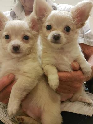 Long coated Pedigree Chihuahua Puppies