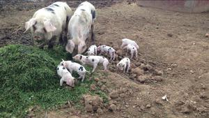 PIGLETS gos PEDIGREE Gloucestershire old