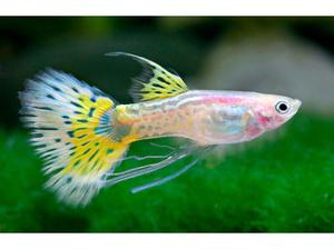 WANTED GUPPIES & PLATY S in Southampton