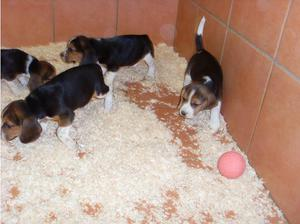 Beagle tri colour in Wokingham