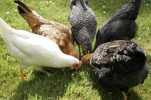 Chickens for sale (POL) diffrent colours/types