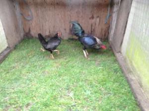 Oxford game chickens