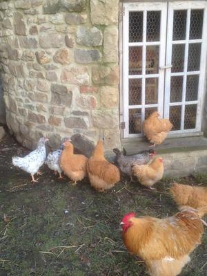 Pol pure bred pullets